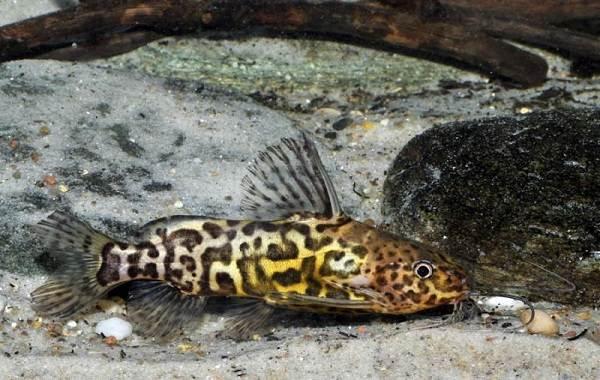 Сом-аквариумный-Описание-особенности-виды-уход-содержание-и-совместимость-сома-9
