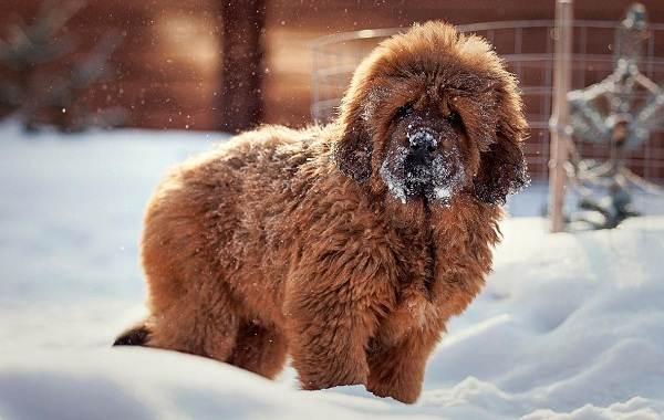 Тибетский-мастиф-собака-Описание-особенности-характер-уход-и-цена-породы-1