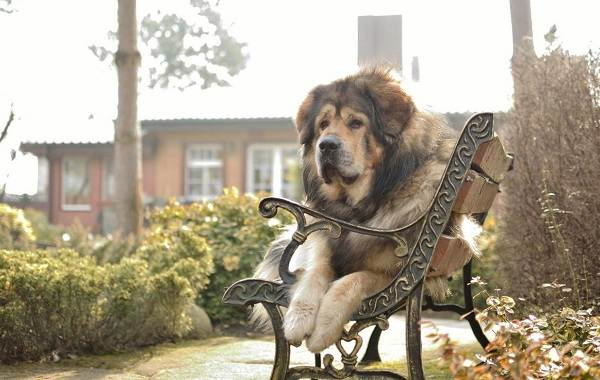 Тибетский-мастиф-собака-Описание-особенности-характер-уход-и-цена-породы-10