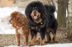 Тибетский мастиф собака. Описание, особенности, характер, уход и цена породы