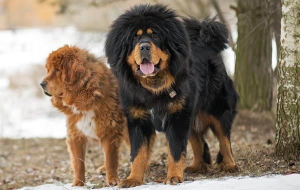Тибетский-мастиф-собака-Описание-особенности-характер-уход-и-цена-породы-11