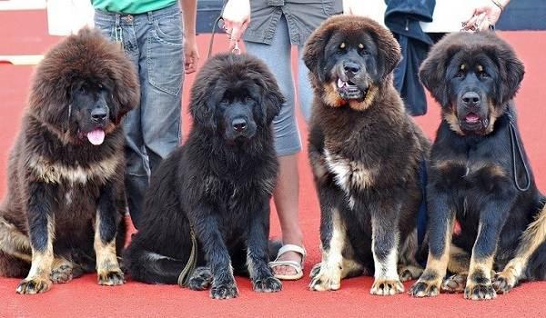 Тибетский-мастиф-собака-Описание-особенности-характер-уход-и-цена-породы-12