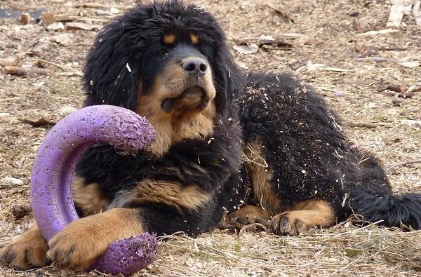 Тибетский-мастиф-собака-Описание-особенности-характер-уход-и-цена-породы-13