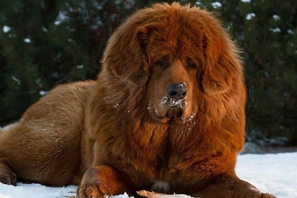 Тибетский-мастиф-собака-Описание-особенности-характер-уход-и-цена-породы-2