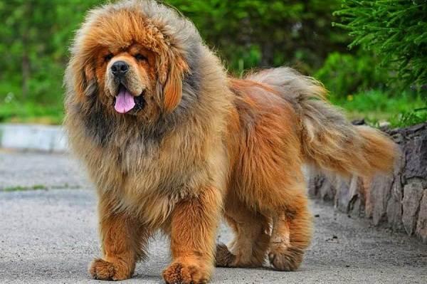 Тибетский-мастиф-собака-Описание-особенности-характер-уход-и-цена-породы-4