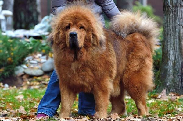 Тибетский-мастиф-собака-Описание-особенности-характер-уход-и-цена-породы-5