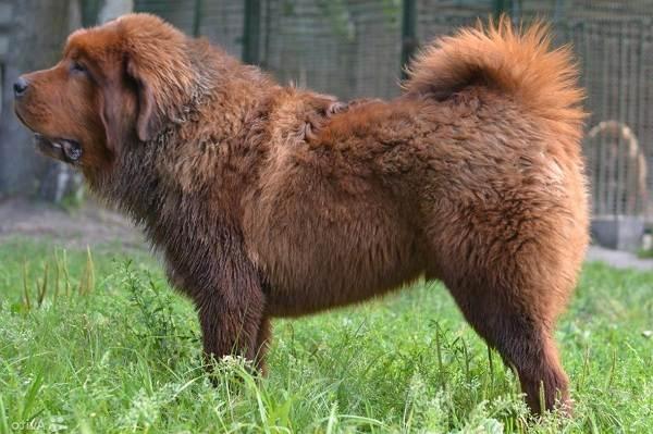 Тибетский-мастиф-собака-Описание-особенности-характер-уход-и-цена-породы-6