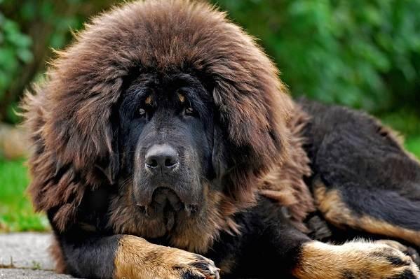 Тибетский-мастиф-собака-Описание-особенности-характер-уход-и-цена-породы-7