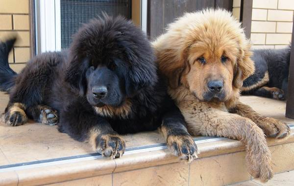 Тибетский-мастиф-собака-Описание-особенности-характер-уход-и-цена-породы-8