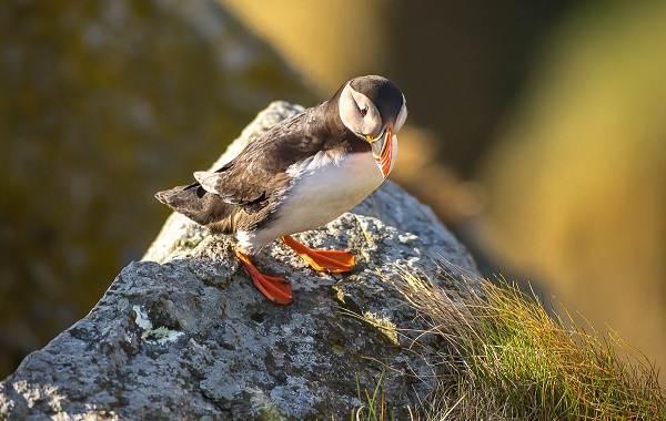Тупик-птица-Описание-особенности-виды-образ-жизни-и-среда-обитания-тупика-10