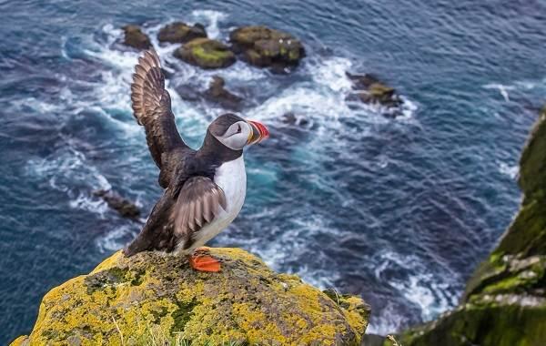 Тупик-птица-Описание-особенности-виды-образ-жизни-и-среда-обитания-тупика-13
