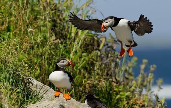 Тупик-птица-Описание-особенности-виды-образ-жизни-и-среда-обитания-тупика-14