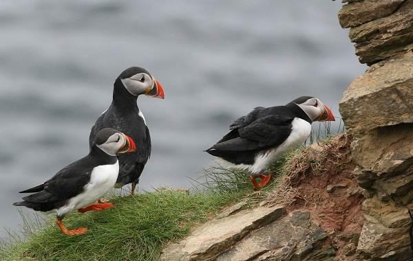 Тупик-птица-Описание-особенности-виды-образ-жизни-и-среда-обитания-тупика-15
