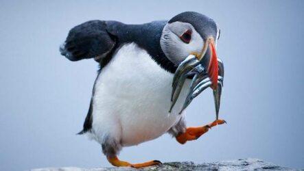 Тупик птица. Описание, особенности, виды, образ жизни и среда обитания тупика