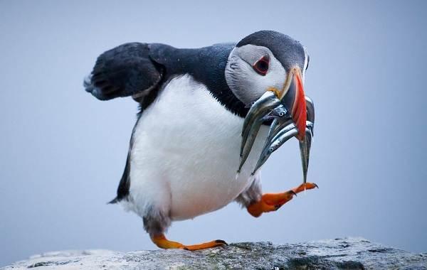 Тупик-птица-Описание-особенности-виды-образ-жизни-и-среда-обитания-тупика-16