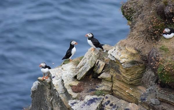 Тупик-птица-Описание-особенности-виды-образ-жизни-и-среда-обитания-тупика-18