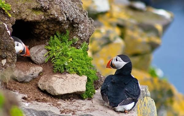 Тупик-птица-Описание-особенности-виды-образ-жизни-и-среда-обитания-тупика-19