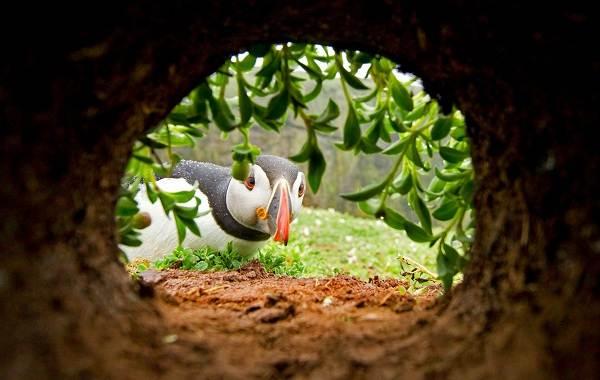 Тупик-птица-Описание-особенности-виды-образ-жизни-и-среда-обитания-тупика-20