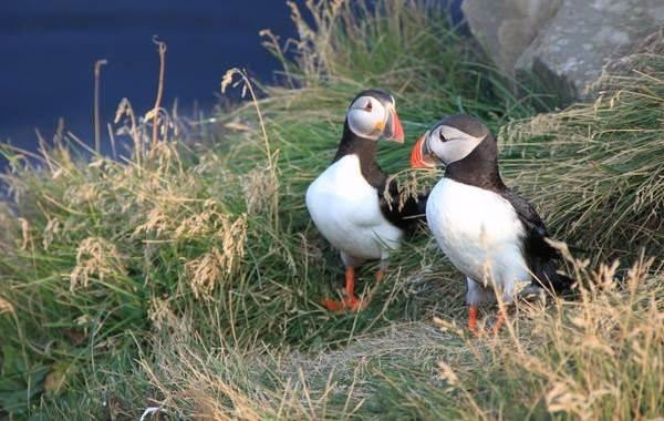 Тупик-птица-Описание-особенности-виды-образ-жизни-и-среда-обитания-тупика-21