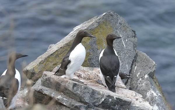 Тупик-птица-Описание-особенности-виды-образ-жизни-и-среда-обитания-тупика-4