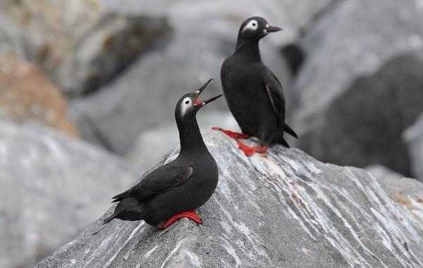 Тупик-птица-Описание-особенности-виды-образ-жизни-и-среда-обитания-тупика-6