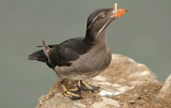 Тупик-птица-Описание-особенности-виды-образ-жизни-и-среда-обитания-тупика-8