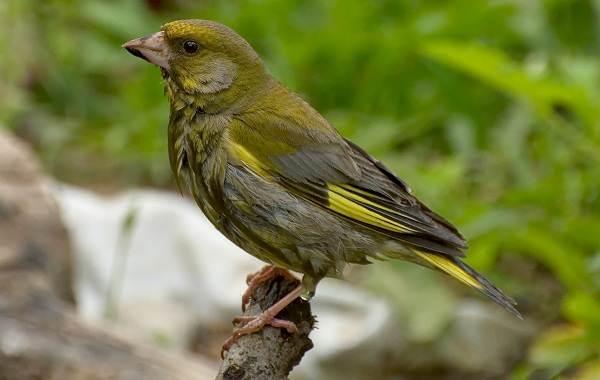 Зеленушка-птица-Описание-особенности-виды-образ-жизни-и-среда-обитания-зеленушки-1