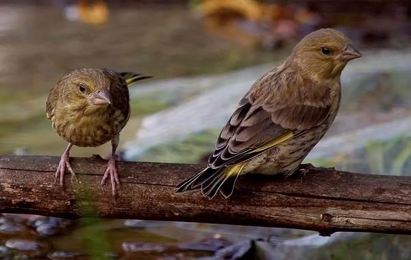 Зеленушка-птица-Описание-особенности-виды-образ-жизни-и-среда-обитания-зеленушки-10