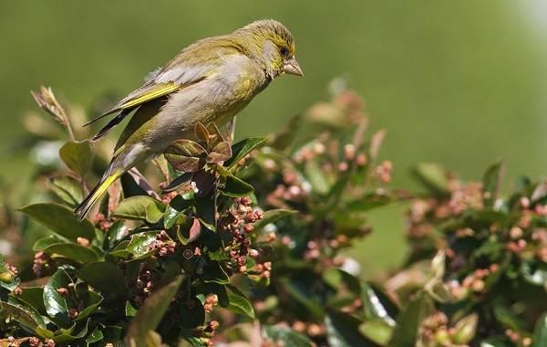 Зеленушка-птица-Описание-особенности-виды-образ-жизни-и-среда-обитания-зеленушки-11