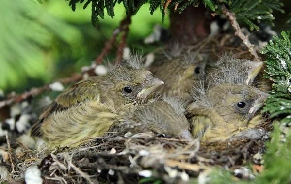 Зеленушка-птица-Описание-особенности-виды-образ-жизни-и-среда-обитания-зеленушки-12