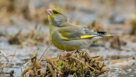Зеленушка птица. Описание, особенности, виды, образ жизни и среда обитания зеленушки