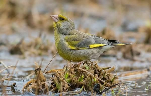 Зеленушка-птица-Описание-особенности-виды-образ-жизни-и-среда-обитания-зеленушки-2