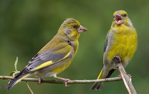 Зеленушка-птица-Описание-особенности-виды-образ-жизни-и-среда-обитания-зеленушки-3