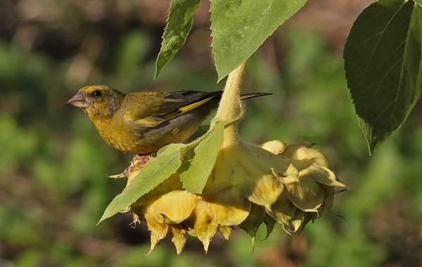 Зеленушка-птица-Описание-особенности-виды-образ-жизни-и-среда-обитания-зеленушки-4