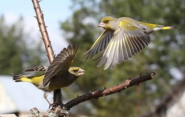 Зеленушка-птица-Описание-особенности-виды-образ-жизни-и-среда-обитания-зеленушки-5