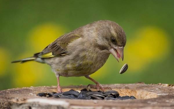 Зеленушка-птица-Описание-особенности-виды-образ-жизни-и-среда-обитания-зеленушки-7