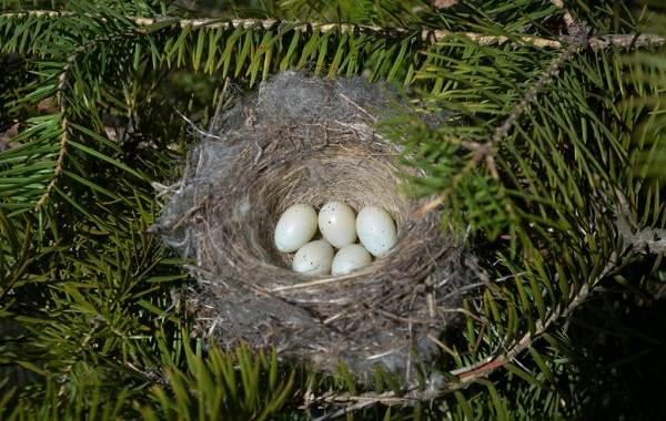 Зеленушка-птица-Описание-особенности-виды-образ-жизни-и-среда-обитания-зеленушки-9