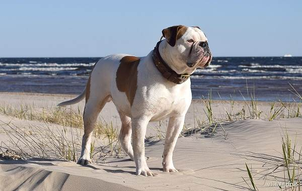 Алапахский-бульдог-собака-Описание-особенности-виды-уход-и-цена-породы-12