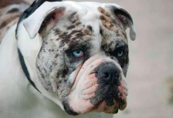 Алапахский-бульдог-собака-Описание-особенности-виды-уход-и-цена-породы-2