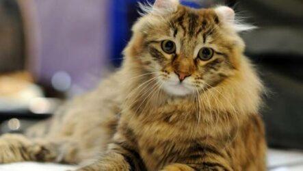 Американский керл кошка. Описание, особенности, виды, характер, уход и цена породы