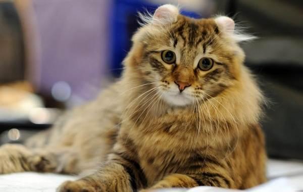 Американский-керл-кошка-Описание-особенности-виды-характер-уход-и-цена-породы-1