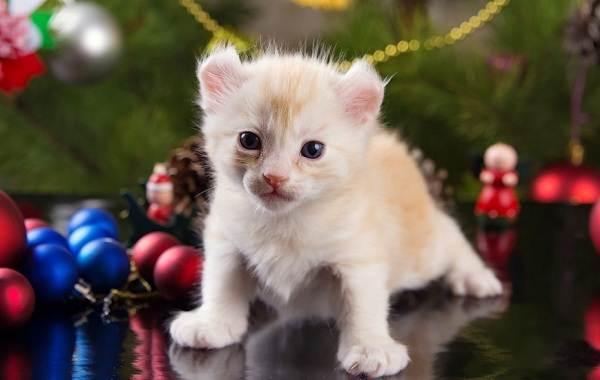 Американский-керл-кошка-Описание-особенности-виды-характер-уход-и-цена-породы-10