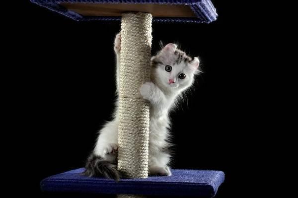 Американский-керл-кошка-Описание-особенности-виды-характер-уход-и-цена-породы-11