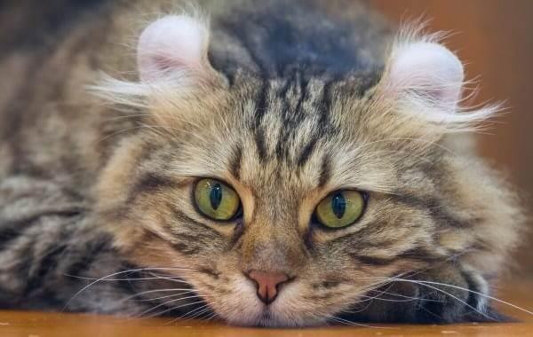 Американский-керл-кошка-Описание-особенности-виды-характер-уход-и-цена-породы-3