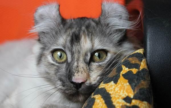 Американский-керл-кошка-Описание-особенности-виды-характер-уход-и-цена-породы-5