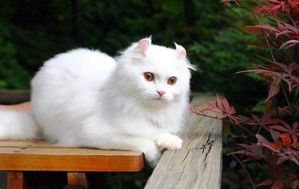 Американский-керл-кошка-Описание-особенности-виды-характер-уход-и-цена-породы-7