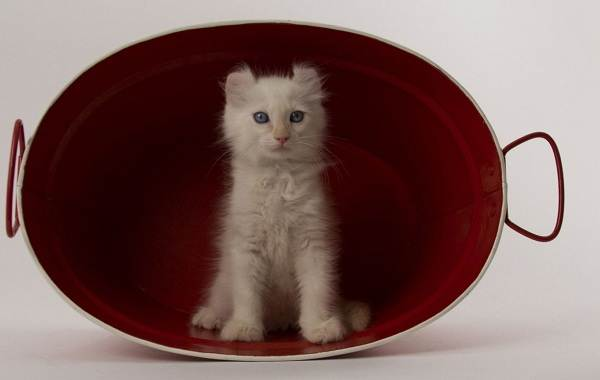 Американский-керл-кошка-Описание-особенности-виды-характер-уход-и-цена-породы-9