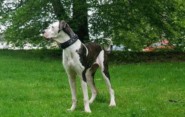 Булли-кутта-собака-Характер-особенности-виды-уход-и-цена-породы-булли-кутта-12