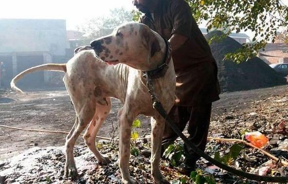 Булли-кутта-собака-Характер-особенности-виды-уход-и-цена-породы-булли-кутта-2