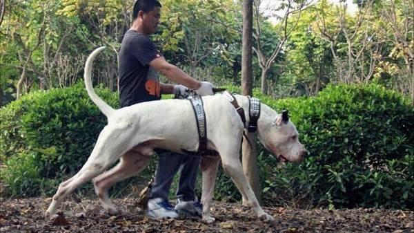 Булли-кутта-собака-Характер-особенности-виды-уход-и-цена-породы-булли-кутта-4